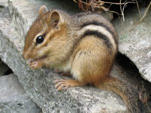Eastern Chipmunk Pictures