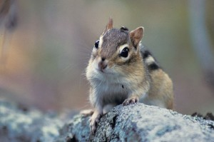 Images of Eastern Chipmunk