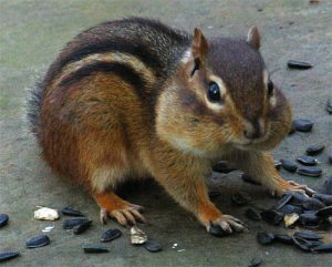 Photos of Eastern Chipmunk