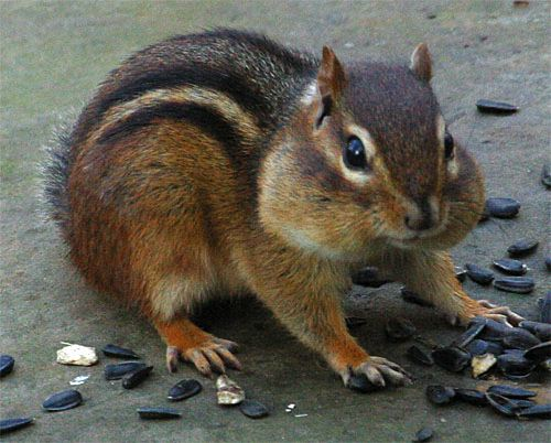 Photo of Eastern Chipmunk