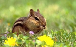Pictures of Eastern Chipmunk