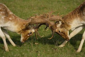 Fallow Deer Picture