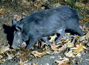 Feral Pig Picture