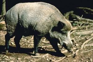 Image of Feral Pig