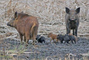 Photo of Feral Pig