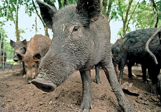 Picture of Feral Pig
