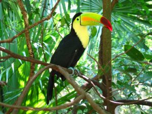 Images of Keel Billed Toucan