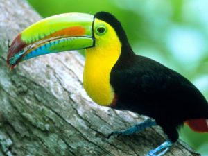 Photos of Keel Billed Toucan