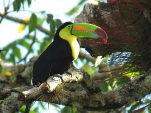 Picture of Keel Billed Toucan