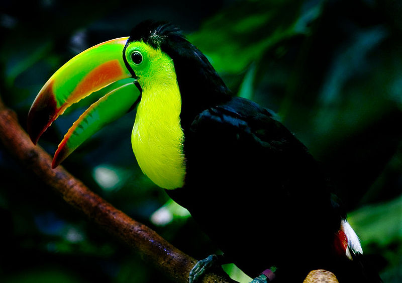 Keel Billed Toucan Picture