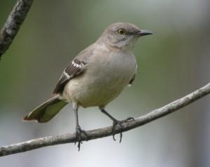 Image of Nothern Mockingbird