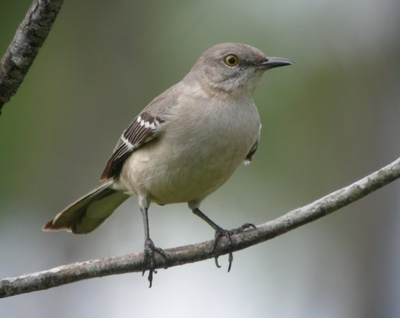 Images of Nothern Mockingbird