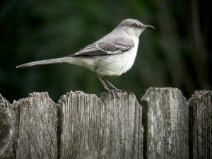 Photo of Nothern Mockingbird