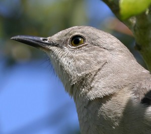 Nothern Mockingbird Picture