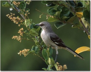 Picture of Nothern Mockingbird