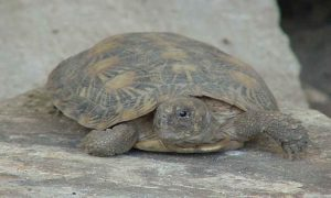 Photo of Pancake Tortoise