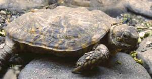 Picture of Pancake Tortoise