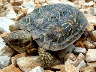 Pics of Pancake Tortoise