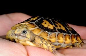 Image of Pancake Tortoise