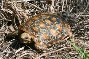 Pancake Tortoise Picture