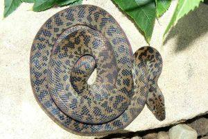 Spotted Python Pattern