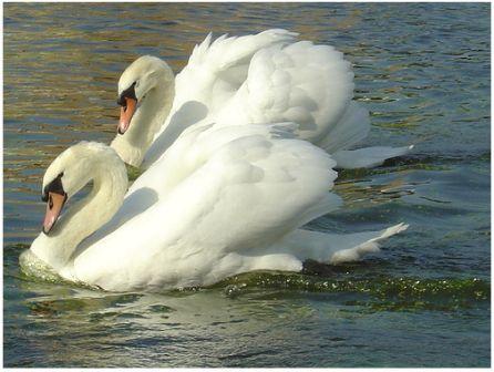 Photos Mute Swan
