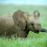 African Elephant Baby Pictures