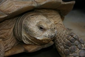 Images of African Spurred Tortoise