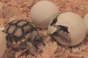 Photos of African Spurred Tortoise