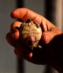 Pictures of African Spurred Tortoise