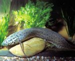 African lungfish baby