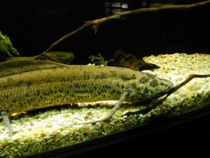 Pictures of African lungfish