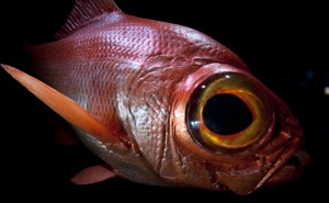 Images of Alfonsino