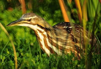 Pictures of American Bittern