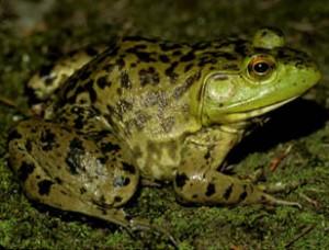 American Bullfrog Picture