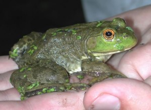 Images of American Bullfrog