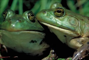 Picture of American Bullfrog