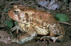 American Toad Picture