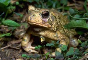 Images of American Toad