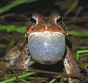 Pics of American Toad