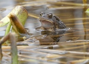 Pictures of American Toad