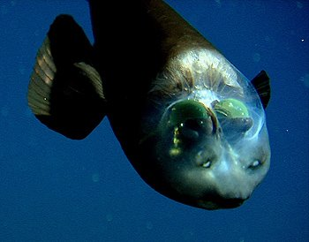 Photos of Barreleye