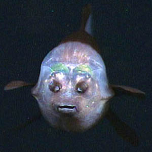 Pictures of Barreleye