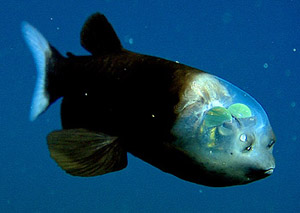 Barreleye Picture