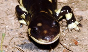 California Tiger Salamander Picture