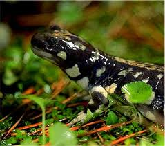 Pictures of California Tiger Salamander