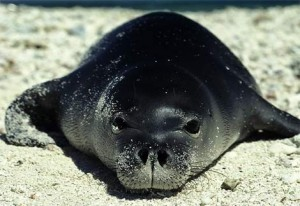 Caribbean Monk Seal Picture