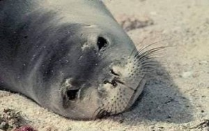 Images of Caribbean Monk Seal