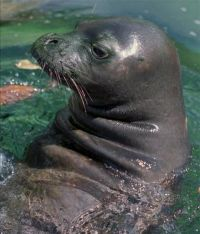 Photos of Caribbean Monk Seal