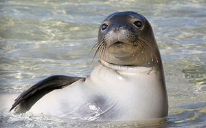 Pictures of Caribbean Monk Seal